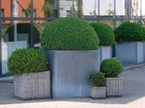 Buxus in pot